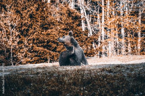 Naklejka premium Bear playing and eating in his natural habitat