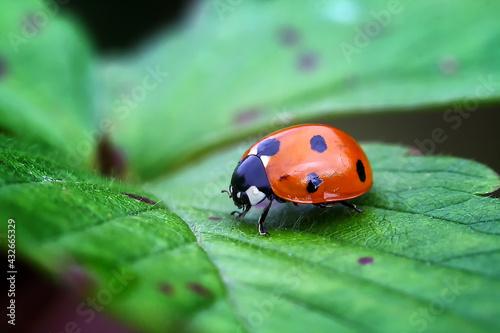 Stampa su Tela ladybug on leaf