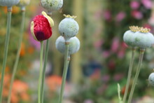 Red Poppy Pods Blooming With Closed Poppies In Thre Background