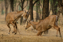 Two Subadult Male Blue Bull Fighting In Jhalana Forest Sanctuary, Rajasthan.