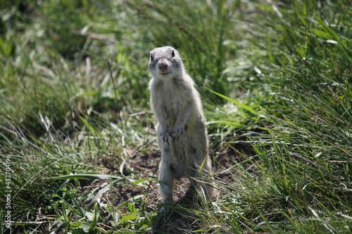 Naklejka premium Spermophilus citellus, European ground squirrel, Sysel obecný
