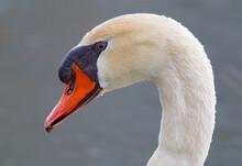 Mute Swan, Elegant, Poised Yet Aggressive.