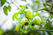 Macro Closeup Of Atomic Green Variety Of Small Grape Tomatoes Cluster Group Hanging Growing On Plant Vine In Garden With Blossom End Rot Disease Calcium Deficiency