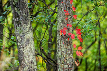 Colorful Red Foliage Of Woodbine Wood Virginia Creeper On Tree In Autumn Fall Forest At Dolly Sods In West Virginia In National Forest Park With Vine Leaves