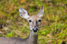 One White-tailed Deer Animal Mammal Wild Grazing Looking At Camera With Bokeh Background In Blackwater Falls State Park In West Virginia