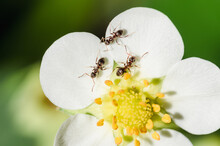 Ants On A Strawberry Flower.
