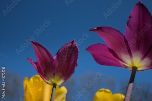 Fototapeta Tulip in the sky obraz