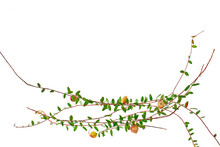 Cowberry Branches And Berries Isolated On A White Background.