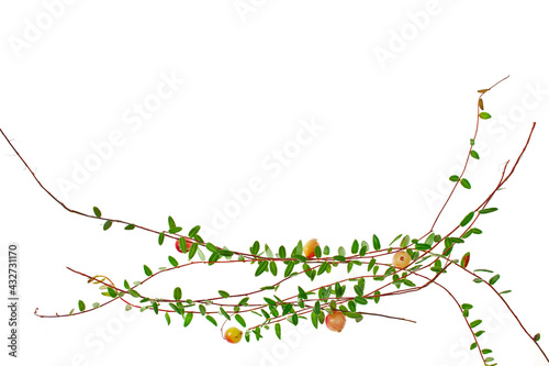 Cowberry branches and berries isolated on a white background. Tapéta, Fotótapéta