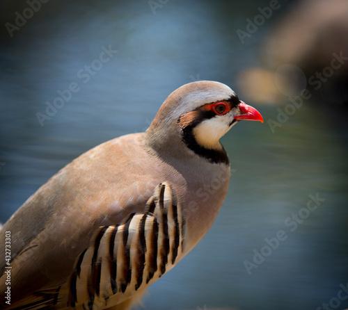 Stampa su Tela close up of a partridge