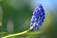 Beautiful Blurry Closeup View Of Spring Blue Muscari (Grape Hyacinth) With Green Bokeh Ballinteer, Dublin, Ireland. Soft And Selective Focus Macro