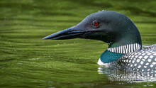 Common Loon On The Lake