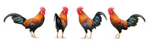 Set Of Colorful Free Range Male Rooster In Different Pose Isolated On White Background