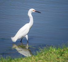 Snowy Egret (Egretta Thula) Bird Fishing In Swallow Blue Waters Of A Lake.