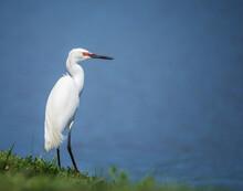 Snowy Egret (Egretta Thula) Bird Standing On Shoreline. Blue Lake Water Background.