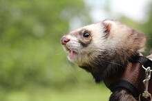 Pet Ferret On A Walk, Ferret In The Park, Pet Exotic Animal, Furry Ferret, Beautiful Pet Ferret, Tame Animal, Ferret Face