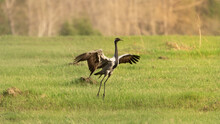 A Beautiful Crane Opened Its Wings On A Green Meadow In A Field In Summer