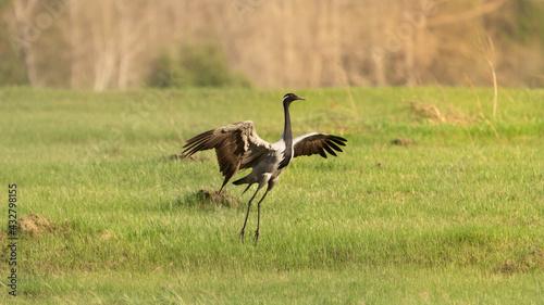 Naklejka premium A beautiful crane opened its wings on a green meadow in a field in summer