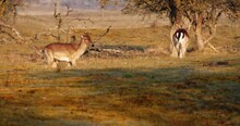 Two Male Fallow Deers Fight And Doing Headbutt In The Field At Sunrise. - Wide Shot