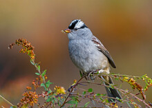 White-crowned Sparrow Perched In Goldenrod
