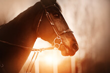 Portrait Of A Beautiful Bay Horse With A Bridle On Its Muzzle, Which Is Illuminated By The Rays Of The Setting Sun In The Evening. Equestrian Life. Horse Riding.