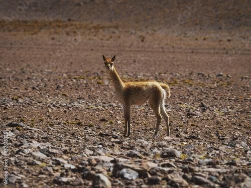 Naklejka premium Closeup view of a curious young vicuna vicugna looking at camera in Uyuni Atacama Potosi Sur Lipez Bolivia South America