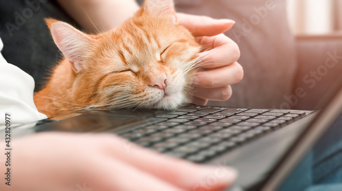 Canvastavla ginger cat and woman working at the laptop