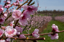 Blooming Peach Orchard.