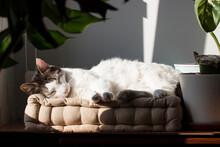 Gatito Blanco Tomando El Sol, Durmiendo La Siesta Muy Ralajado Al Lado De La Ventana Sobre Un Cojín, Bajo La Sombra De La Plantas De Interior