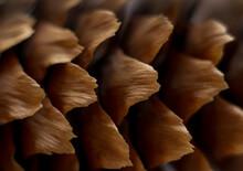 Coniferous Tree Cone, Macro View