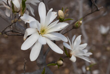 White Magnolia Flower, Spring Flowering Trees