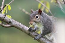 Squirrel On A Branch Looking At Bird Feeder