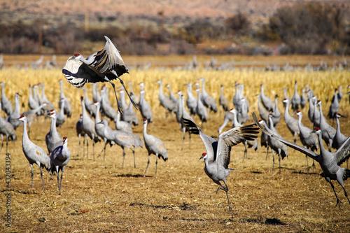 Naklejka premium Sandhill Crane Migration