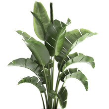 Tropical Plants Banana Palm In A Pot On A White Background