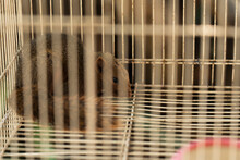 Red Squirrel Caught In A Live Trap Awaiting Relocation. Keeping Animals In Captivity Concept.