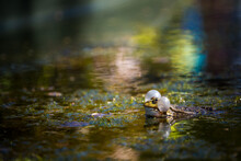 Green Frog In The Water