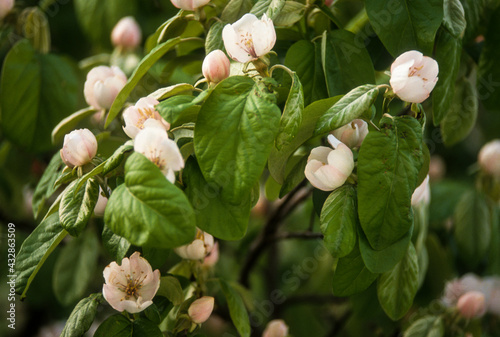 Coing, cognassier, fleur, Cydonia oblonga Fotobehang