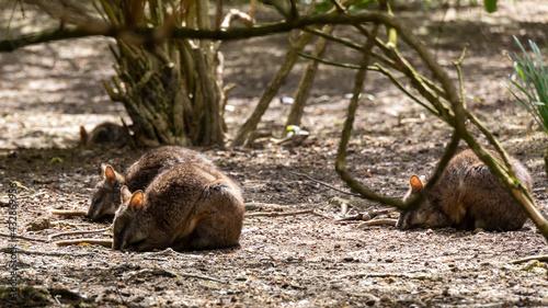 Slika na platnu wallabies searching for food in scrubland