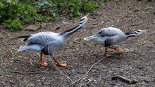 Pair Of Emperor Geese