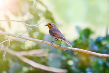 The Robin Bird (Erithacus Rubecula) Sits On A Branch In The Forest. Warbler With An Orange Breast.