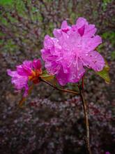 Rain Drenched Spring Azalea Flowers