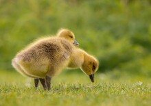 Baby Country Goose