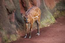 Female Sitatunga (Tragelaphus Spekii), Also Known As A Marshbuck