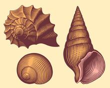 Seashells. Hand Drawn Engraving. Editable Vector Vintage Illustration. Isolated On Light Background. 8 EPS