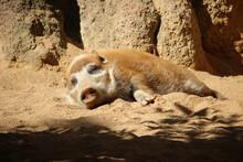 Red River Hog (Potamochoerus Porcus), Also Know As Bushpig