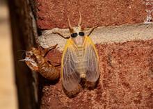 Molted Brood X Cicada VI
