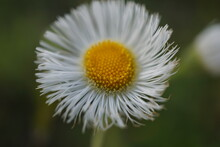 Tiny Yellow And White Field Flower