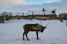 Deers Shot From A Wildlife Zoo In Winter.