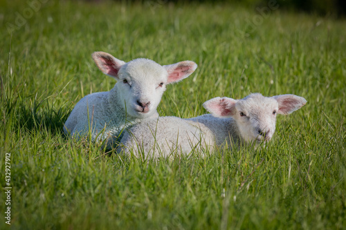 Fotografie, Obraz Gorgeous lamb laying together in field