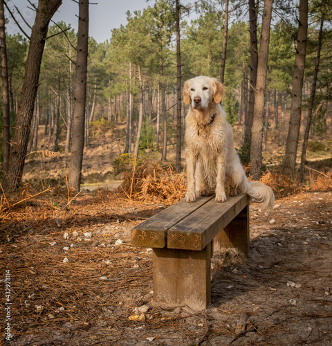 Obraz na plátně Pet golden retriever dog in the pine forest on a bench seat